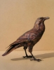 raven_a