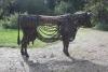 Irish-Cow-065