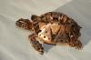 trowel-tortoise57-copy